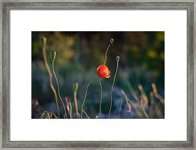 Wild Poppies By Ian Riddler Framed Print by Ian Riddler