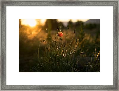 Wild Poppies Framed Print by Ian Riddler