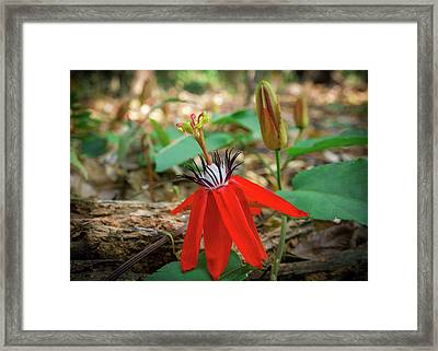 Wild Red Passion Flower Framed Print by Yuka Ogava