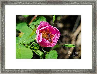 Wild Rose And Bee Framed Print by Rex Wholster