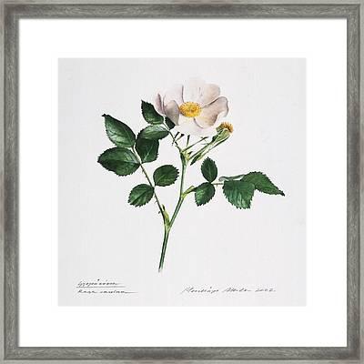 Wild Rose Framed Print