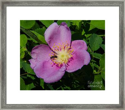 Wild Rose Bloom Framed Print by Rex Wholster