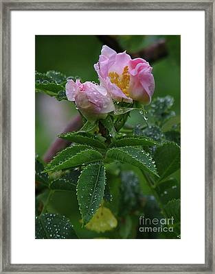 Wild Rose Buds Framed Print by Deborah Johnson