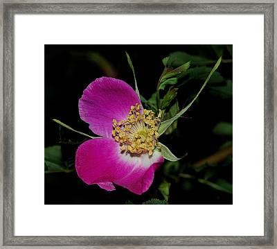 Wild Rose Framed Print by Marilynne Bull