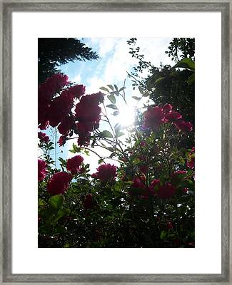 Wild Rose Shine Framed Print by Ken Day