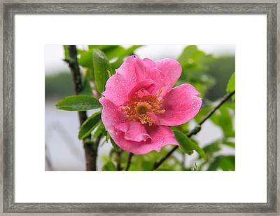 Wild Rose With Dew Framed Print