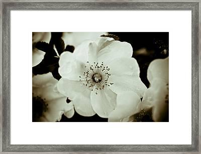 Wild Roses Framed Print by Frank Tschakert