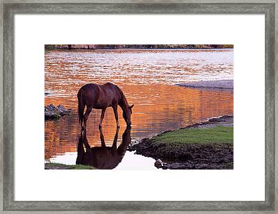 Framed Print featuring the photograph Wild Salt River Horse At Saguaro Lake by Dave Dilli