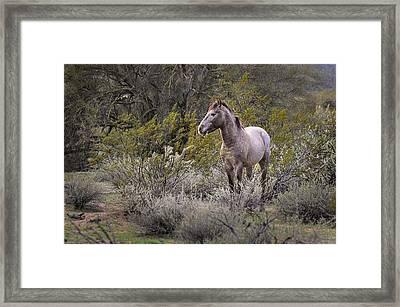 Wild Salt River White Horse Framed Print by Dave Dilli