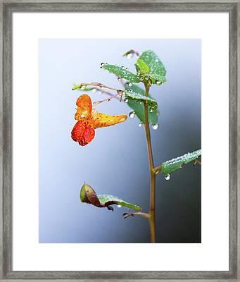Wild Snapdragon Flower Framed Print