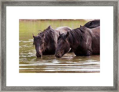 Wild Stallions At The Water Hole Framed Print