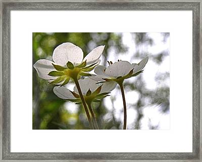 Framed Print featuring the photograph Wild Strawberry Blossoms by Angie Rea