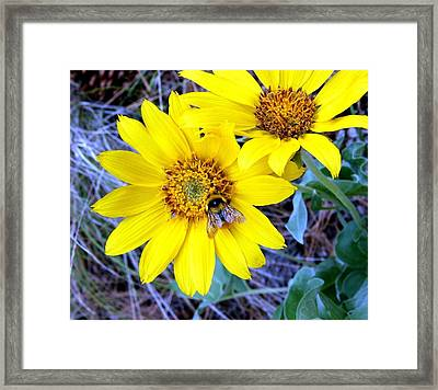 Wild Sunflowers And Bee Framed Print by Will Borden