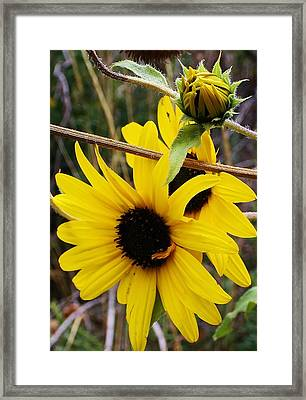 Wild Sunflowers Of The Canyon Framed Print by Bruce Bley