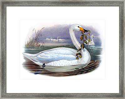 Wild Swan Antique Bird Print The Birds Of Great Britain Framed Print by Orchard Arts