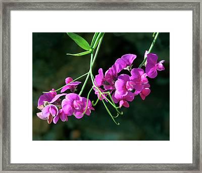Wild Sweet Peas Framed Print
