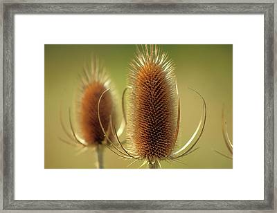 Framed Print featuring the photograph Wild Teasel by Bruce Patrick Smith