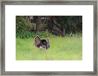 Framed Print featuring the photograph Wild Turkey  by Christy Pooschke