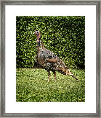 Wild Turkey Framed Print by Kelley King