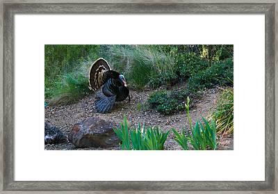 Wild Turkey Framed Print by Mark Barclay