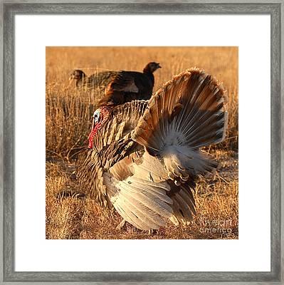 Wild Turkey Tom Following Hens Framed Print by Max Allen