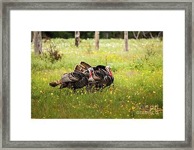 Wild Turkey's Dance Framed Print by Iris Greenwell