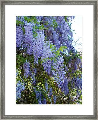 Wild Visteria In Nc Framed Print