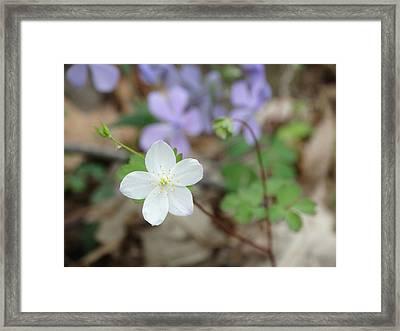 Wild Woodland Phlox Framed Print by Rebecca Overton
