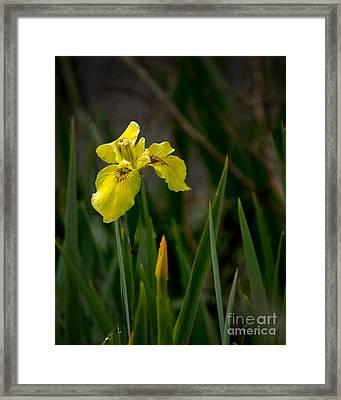 Wild Yellow Iris Framed Print by Robert Bales