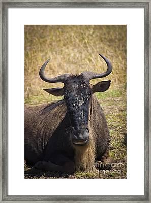 Wildebeest Taking A Break Framed Print