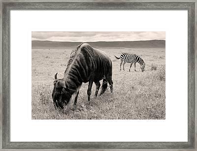 Wildebeest And Zebra Framed Print