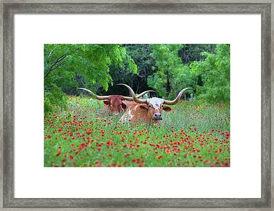 Wildflowers And Texas Longhorns 1 Framed Print by Rob Greebon
