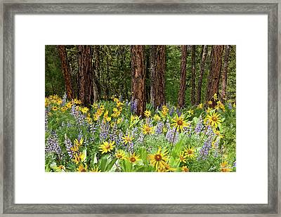 Balsamroot And Lupine In A Ponderosa Pine Forest Framed Print