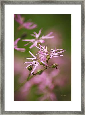 Wildflowers - Ragged Robin Framed Print by Christina Rollo
