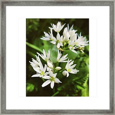 #wildgarlic #flower #woodland #walks Framed Print by Natalie Anne