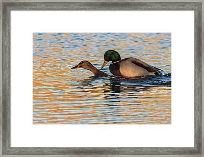 Wildlife Love Ducks  Framed Print