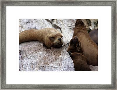 Wildlife Of The Ballestas Islands Framed Print by Aidan Moran