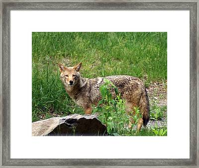 Wiley Coyote Framed Print by Marty Koch