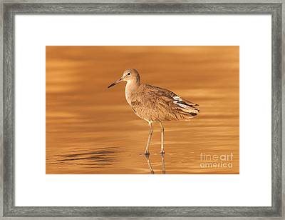Willet Framed Print by Clarence Holmes