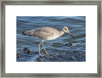 Willet In Winter Plumage Framed Print