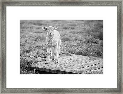 Williamsburg Lamb Framed Print