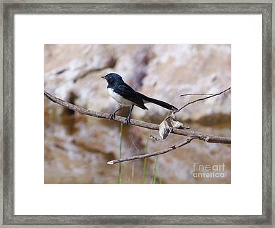 Willie Wagtail Framed Print by Phil Banks