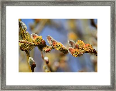Willow Buds Framed Print by Donna Kennedy