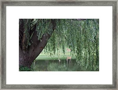 Willow Deer Framed Print by Dylan Punke