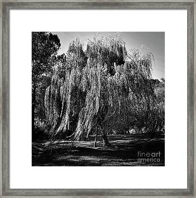 Willow In The Wind Bnw Framed Print by Skip Willits