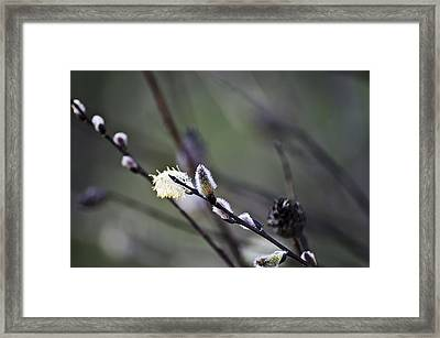 Willow Stages Framed Print