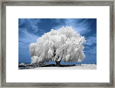 Willow Tree In Infrared   Framed Print