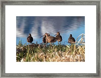 Wilson Snipe Framed Print
