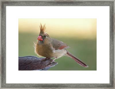 Framed Print featuring the photograph Wind Blown Cardinal  by Terry DeLuco