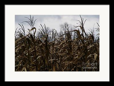 Cornfield Framed Prints